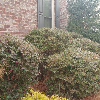 Shrub, Bush and Small Tree Pruning